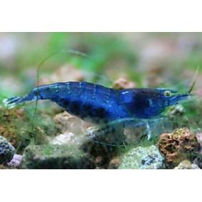 Camarão Fantazy Blue Dream Neocaridina Promocão