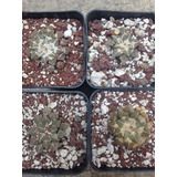 Cactus Exotico Ariocarpus Kotschoubeyanus