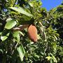 Cupuaçu Mudas De Semente Mudas Frutíferas Arvores