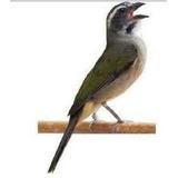 Feromônio Indutor De Canto Para Pássaro Trinca-ferro 100ml