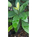 Plantas De Persea Americana Palta Hass
