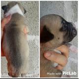 Filhotes Pitbull X American Bulldog