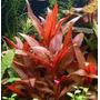 Althernanthera Reinicki Plantas Acuáticas Peces