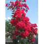 Planta De Lagestroemia Crespon Arbol Exterior Tierra Maceta