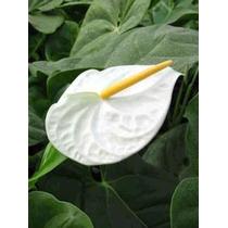 Anturio , Anthurium Scherzerianum.( Blanco )