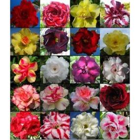 10 Sementes Bonsais De Rosas Do Deserto Várias Cores P/ Muda
