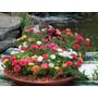 Onze Horas Importada 100 Sementes Flor Para Muda Dobrada