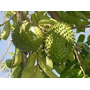 Semillas - Graviola Guanábana