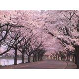 20 Semillas Cerezo Japonés Sakura Prunus Serrulata
