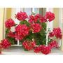 Geranios Dobles X 10 Plantas Elviveruski Muchos Color Flores