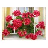 Geranios Dobles Cajon X 10 Plantas Vivero Online Elviveruski