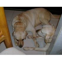 Labrador Retriever Semental Pedegree Nacional