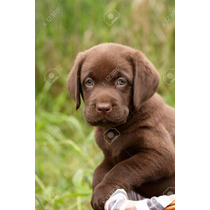 Hermoso Labrador Chocolate