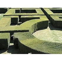 600 Sementes Cedrinho Cedro Cerca Viva Muro Verde Labirinto