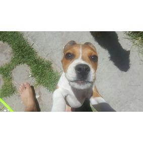 Últimas Dos Cachorras Beagle Hermosas