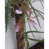 Orquídea - Encyclia Bractescens