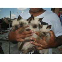 Filhotes De Gatos Siâmes Legítimos Puros Sangue