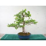 Sementes De Aroeira Pimenteira Para Mudas Árvore Ou Bonsai