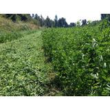 Fardos Alfalfa