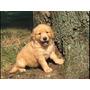 Golden Cachorros Padres Importados Unicos