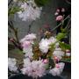 Bonsai Cerezo Flor Doble