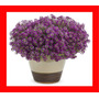 Alyssum Violeta Flor De Mell Alisso Flor Sementes P/mudas