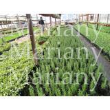 Plantines-aromáticas -maceta Nº12- (10uni.) $140