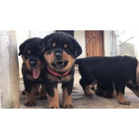 Filhotes De Rottweiler Alto Padrao Caratinga Mg