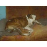 Pitbull Dogo Boxer Adopcion
