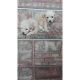 Hermosos Cachorros Mini Toy Disponibles