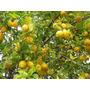 Arboles De Cítricos, Limoneros, Naranjos,pomelos, Mandarinos