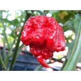 Semillas De Chile Carolina Reaper!! Muy Picante !