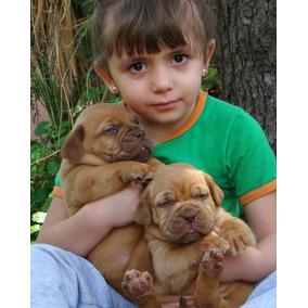 Dogo De Burdeos Cachorros 75 Dia 2 Vacun Rockefeller Willsam