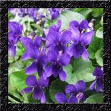 Violeta Perfumada Viola Odorata - Sementes Flor Para Mudas