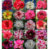 6 Mudas Rosa Do Deserto - Adenium Obesum