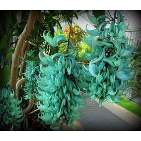 Trepadeira Jade Azul - Lindas Mudas !!!!