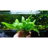 Microsorium Sp Minas Gerais - Plantas Aquáticas-frete Grátis