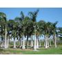 Mudas De Palmeira Real -tubetes Com 20 A 25 Cm De Alt.r$2,50