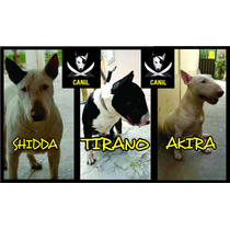 Filhotes Macho De Bull Terrier Legítimo!pai E Mãe Pedigree