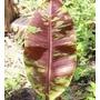 Musa Sumatra - Bananeira Ornamental - Rizomas Frescos!