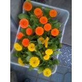 Plantines De Flor Plantas Coloridas Plantines Plantas Flores