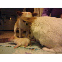 Chihuahuas Mini, Disponibles.