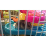 Hamster Chino Ruso Hermosos Pethome Chile