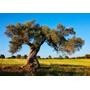 Arbol Olivo - Olea Europea, Plantin. Vivero Arbol Hermano