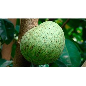 Árbol De Guanábana Costa Rica ~ Dulce Frutal ~ Envío Gratis