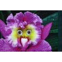 10 Sementes Orquídea Cara De Papagaio Flor Exótica E Rara