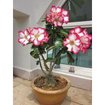 Suculentas-adenium - Rosa Do Deserto