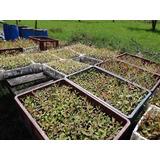 Plántulas Plantas Arbolitos Forestales Maderables Nativas