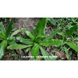 Semillas Plantas Aromática Culantro Flores Jardin Paquetico