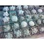Cactus De Coleccion Ornato Jardin Paisajismo Meses Sin Inter